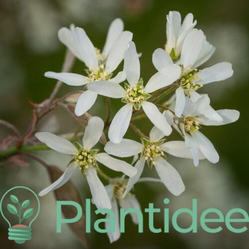 Plantidee - planten - Amelanchier lamarckii