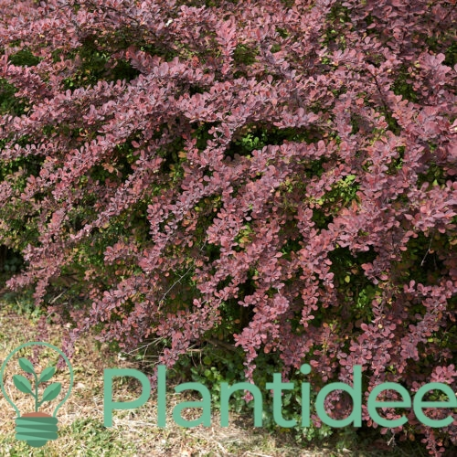 Plantidee - planten - Berberis atropurpurea