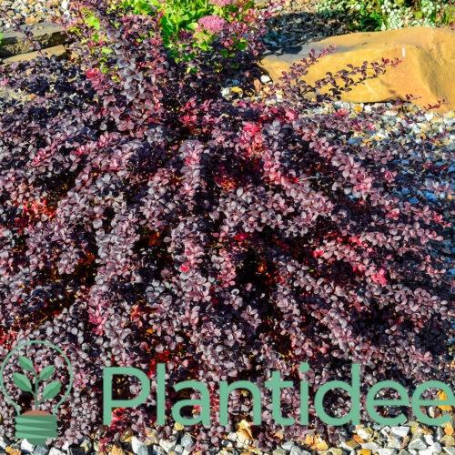 Plantidee - planten - Berberis atropurpurea nana