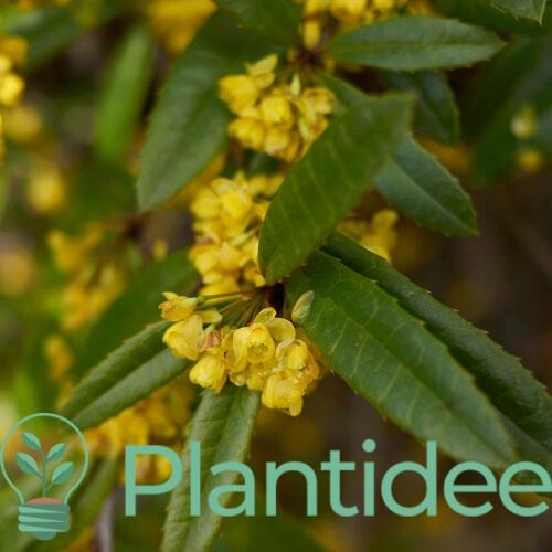 Plantidee - planten - Berberis julianae