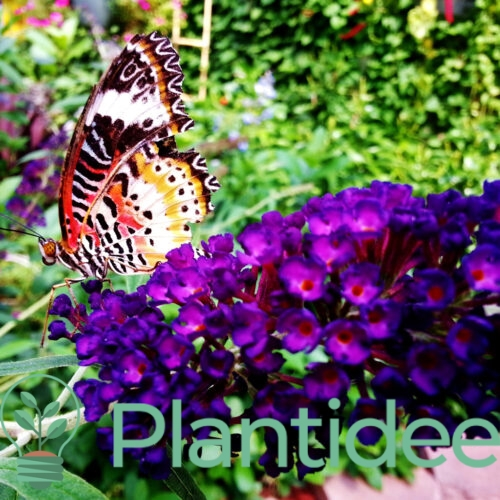 Plantidee - planten - Buddleja davidii black knight