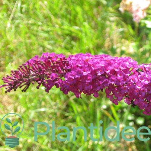 Plantidee - planten - Buddleja davidii pink delight
