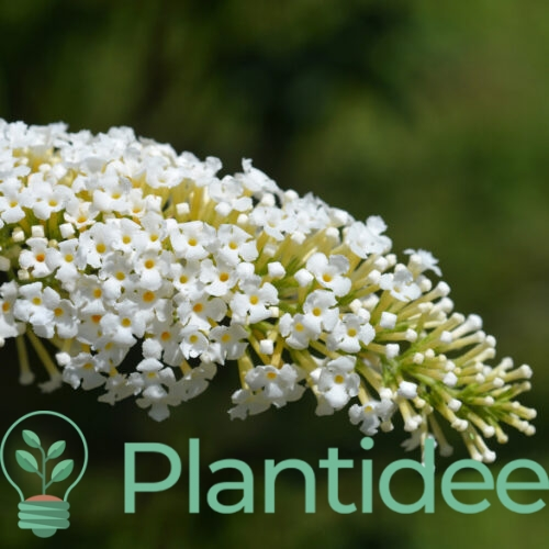 Plantidee - planten - Buddleja davidii white profusion