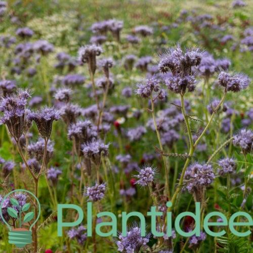 Plantidee - planten - Caryopteris clandonensis heavenly blue