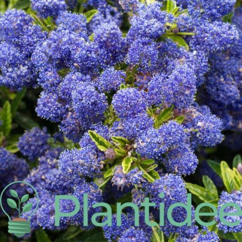 Plantidee - planten - Ceanothus edinburgh
