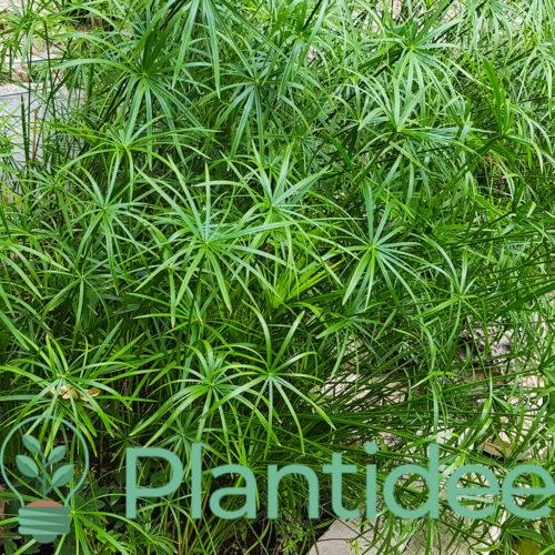 Plantidee - planten - cyperus alternifolius