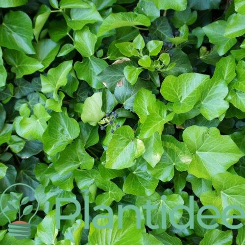Plantidee - planten - Hedera hibernica