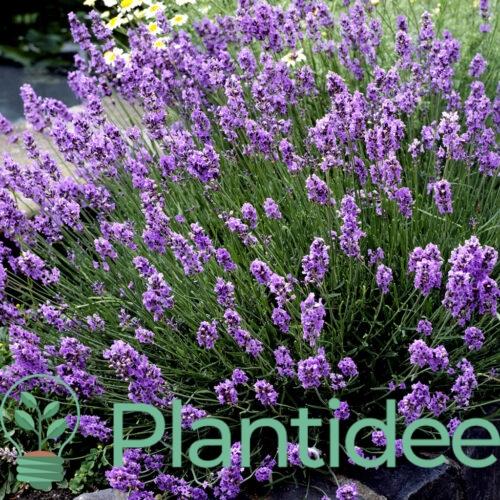Plantidee - planten - Lavendula angustifolia munstead