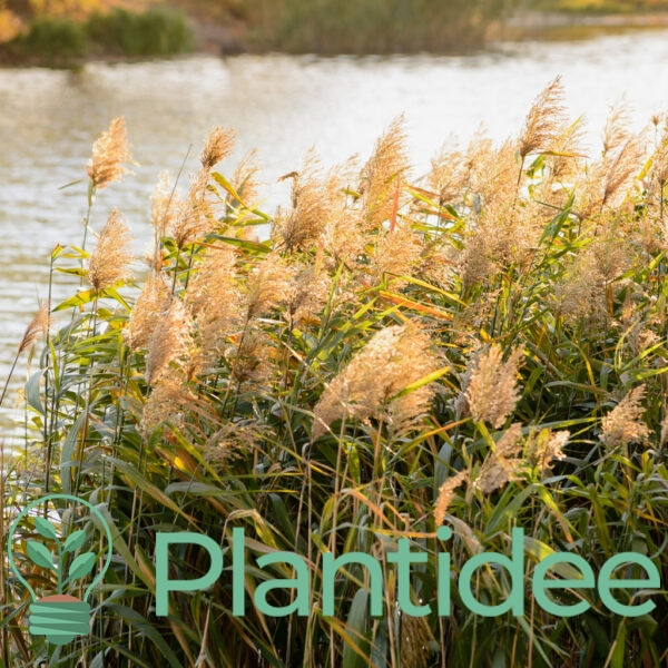 Plantidee - planten - Phragmites australis
