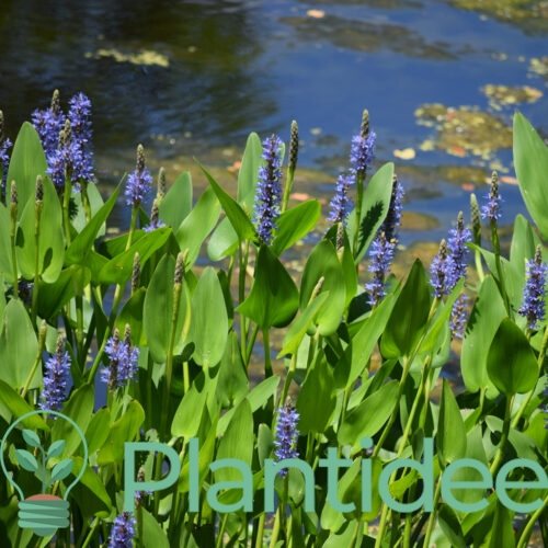 Plantidee - planten - Pontederia cordata