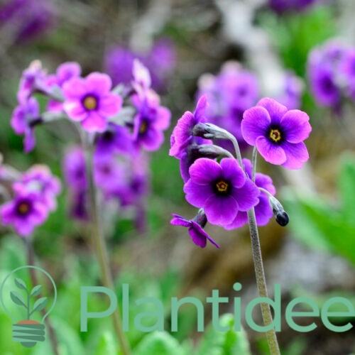 Plantidee - planten - Premula denticulata blue selection