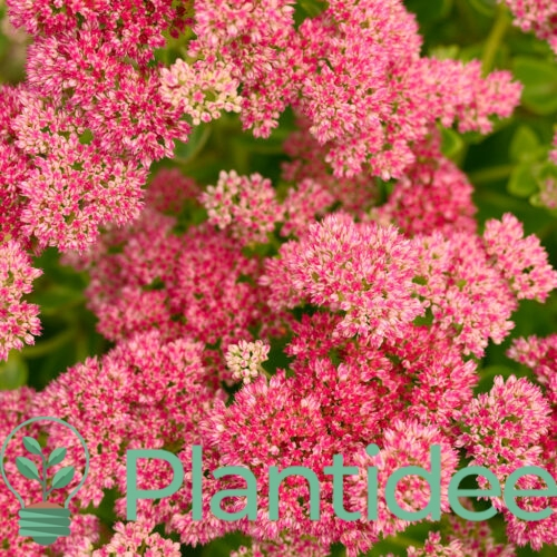 Plantidee - planten - Sedum telephium munstead purple