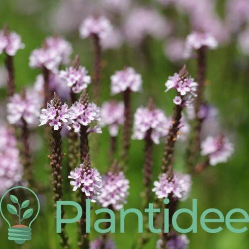 Plantidee - planten - Verbena hastata pink spires