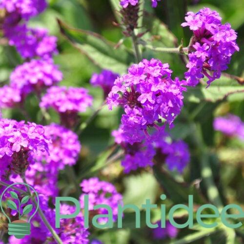 Plantidee - planten - Verbena rigida