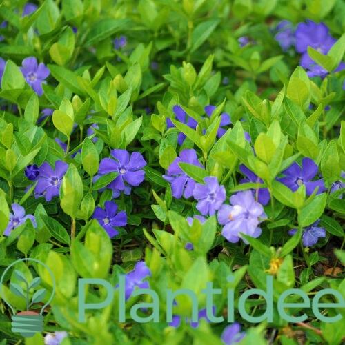 Plantidee - planten - Vinca minor
