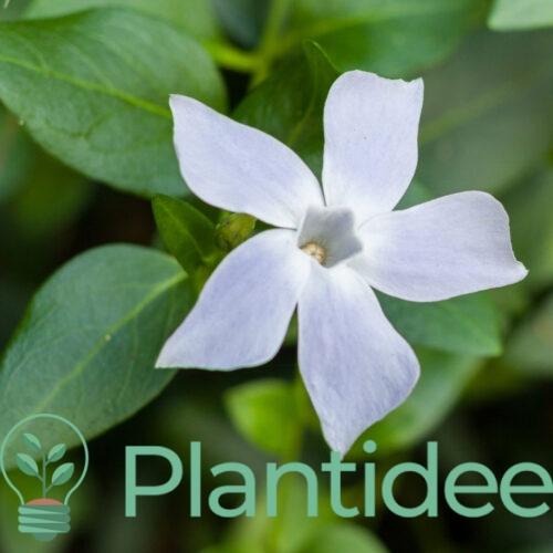 Plantidee - planten - Vinca minor alba