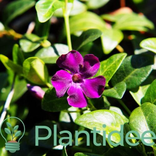 Plantidee - planten - Vinca minor purpurea