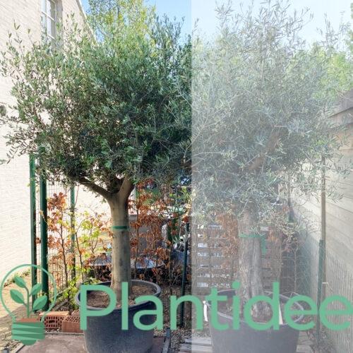 Plantidee - planten - Olea Europaea - Olijfboom - gladde stam