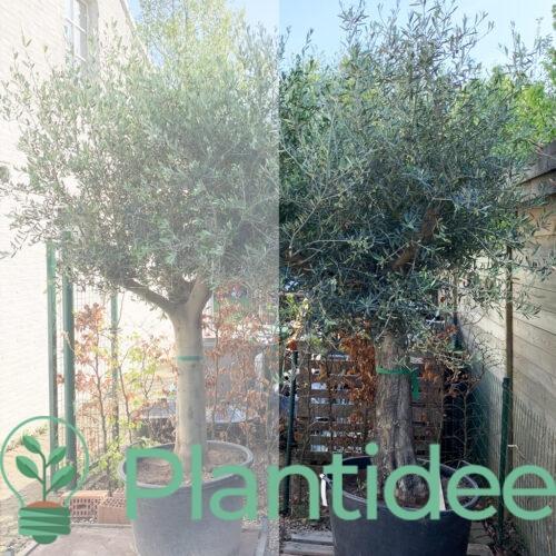 Plantidee - planten - Olea Europaea - Olijfboom - ruwe stam