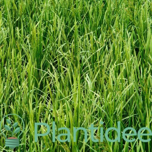 Plantidee - planten - carex foliosissima irish green