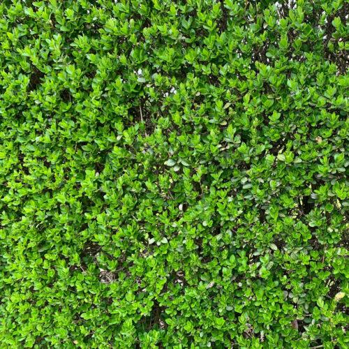 Plantidee - haagplanten - Ligustrum Ovalifolium close up